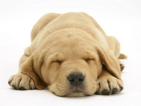 Domestic Labrador Puppy (Canis Familiaris) Sleeping Photographic Print