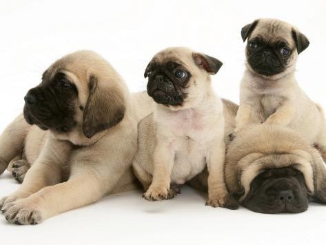 Fawn Pug Pups with Fawn English Mastiff Puppies Photographic Print