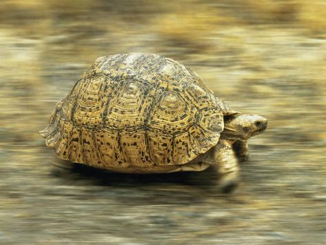 Leopard Tortoise (Geochelone Pardalis) Running Photographic Print