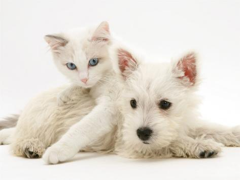 Ragdoll Kitten with West Highland White Terrier Puppy Photographic Print