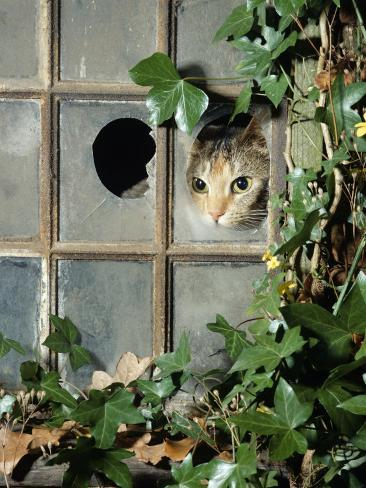 Tabby Tortoiseshell in an Ivy-Grown Window of a Deserted Victorian House Photographic Print