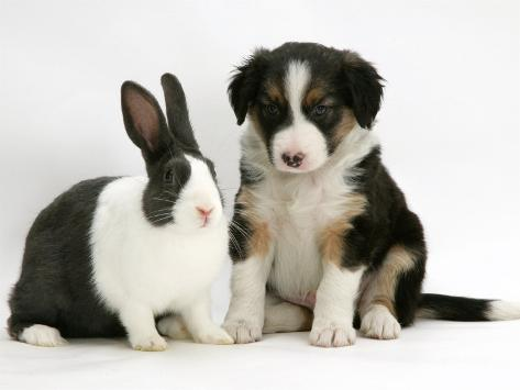 Tricolour Border Collie Puppy with Blue Dutch Rabbit Photographic Print