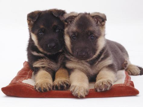 Two German Shepherd Dog Alsatian Pups, 5 Weeks Old, Lying on a Pillow Photographic Print