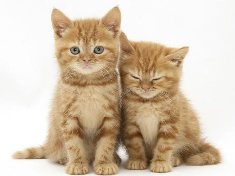 Two Ginger Domestic Kittens (Felis Catus) Photographic Print