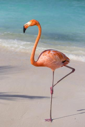 Flamingo On Flamingo Beach Renaissance Island Oranjestad