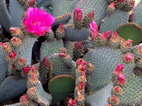 Blooming Beavertail Cactus, Joshua Tree National Park, California, USA Photographic Print