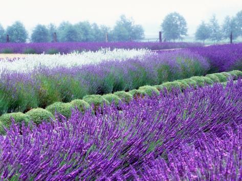 Lavender Field, Sequim, Washington, USA Photographic Print