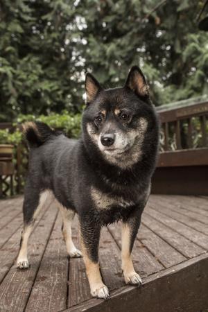 'Issaquah, WA. Portrait of a three year old Shiba Inu dog ...