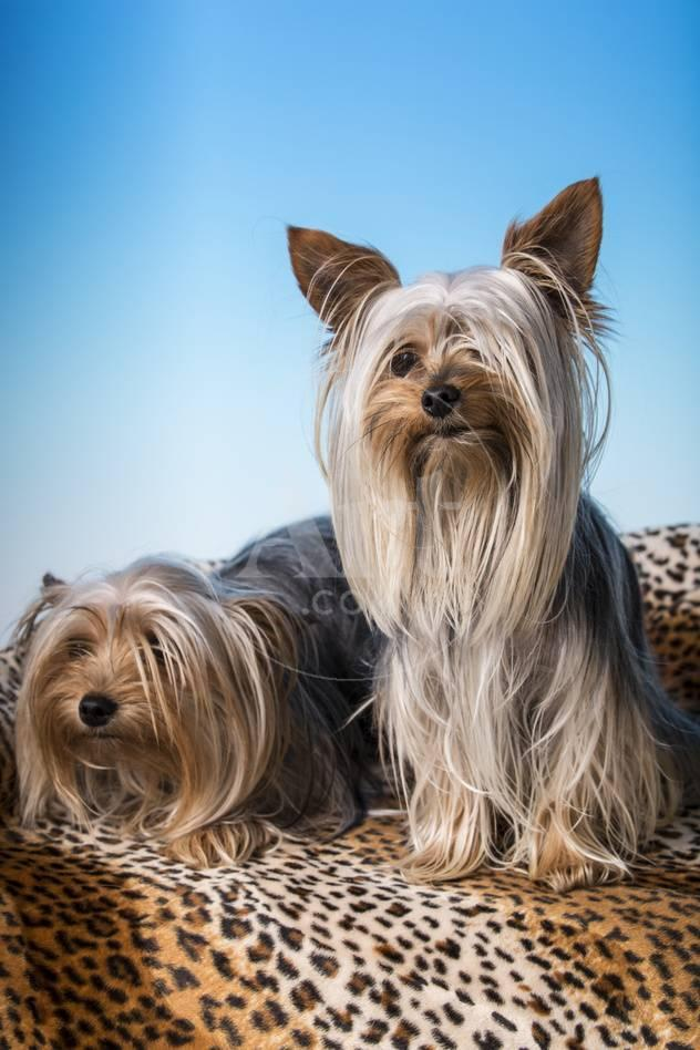 Male And Female Adult Teacup Yorkshire Terrier Dogs Photographic Print Janet Horton Allposters Com