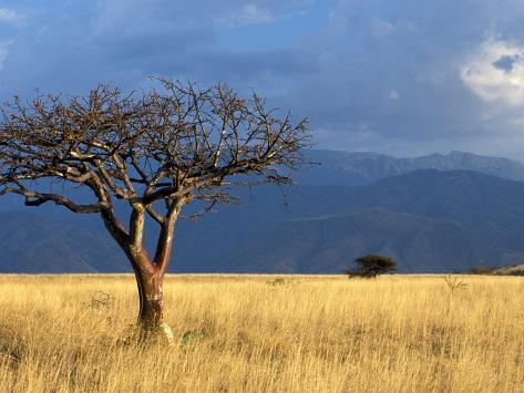 A Lone Tree in the Grasslands of Nechisar National Park, Ethiopia Photographic Print