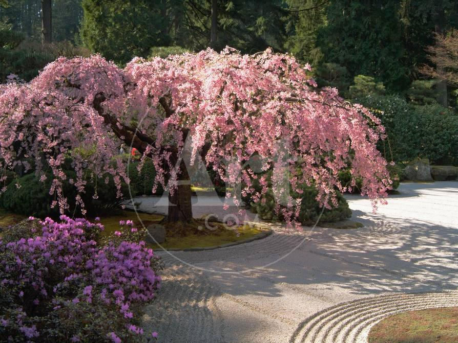 Cherry Tree Blossoms Over Rock Garden In The Japanese Gardens