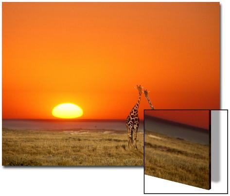 Giraffes Stretch their Necks at Sunset, Ethosha National Park, Namibia Art on Acrylic