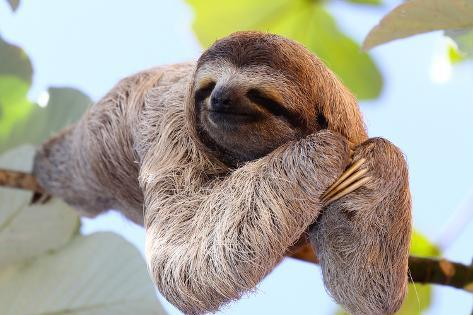happy sloth hanging on the tree photographic print by janossy