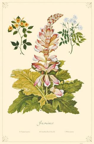 Jasmines Flowers Stampa master