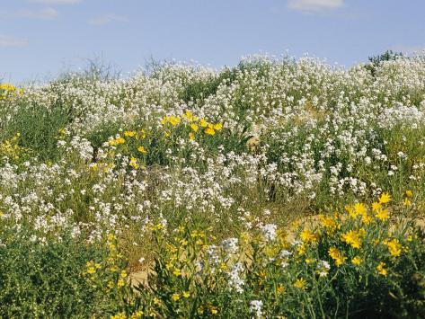 Flores Silvestres Goodenia Y Flores Amarillas En Duna Lamina