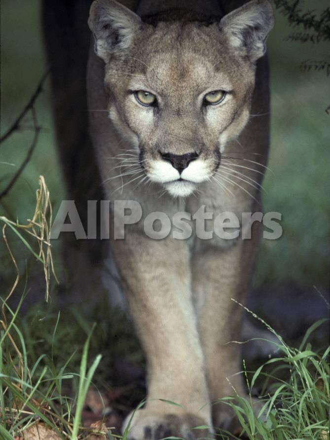 Mesmerising Glare of a Stalking Puma Hunting Prey, Australia Lámina ...