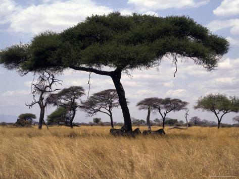 Zebra Shading Themselves under an Umbrella Acacia Tree Photographic Print