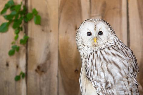 Ural Owl Photographic Print
