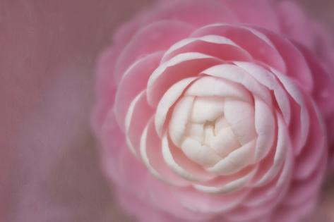 Florida. Pink Camellia Close-Up Stampa fotografica