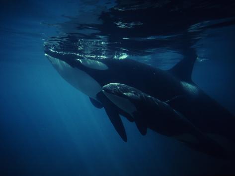 Killer Whale (Orcinus Orca) Vancouver Island, British Columbia, Canada Photographic Print