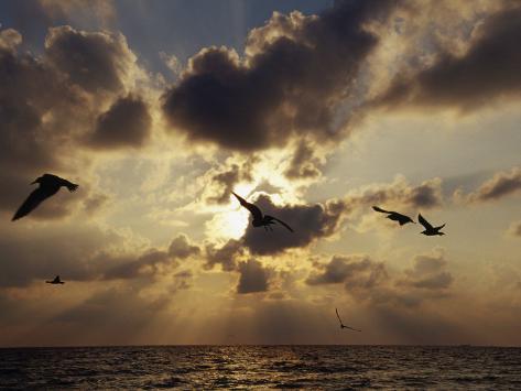 Seagulls, Sunrise, Atlantic Shore Photographic Print