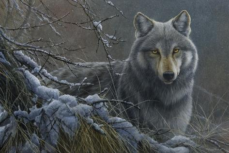 Primo piano di un lupo grigio stampa gicl e di jeremy paul for Piano di abbozzo domestico
