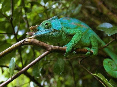 A Chameleon Sits on a Branch of a Tree in Madagascar's Mantadia National Park Sunday June 18, 2006 Photographic Print