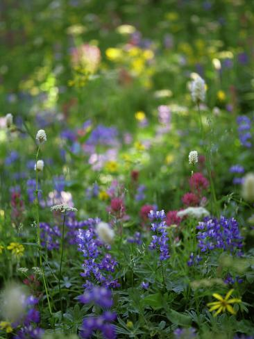 Summer Wildflowers in Mt Rainier National Park, Washington Photographic Print