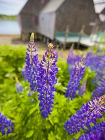 Lupines Bloom in Front of a Historic Fish Cannery in Lubec, Maine, Usa Photographic Print