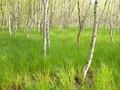 Paper Birch Trees on the Edge of Great Meadow, Near Sieur De Monts Spring, Acadia National Park Impressão fotográfica premium