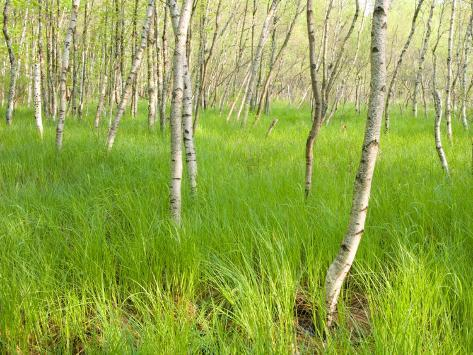 Paper Birch Trees on the Edge of Great Meadow, Near Sieur De Monts Spring, Acadia National Park Impressão fotográfica