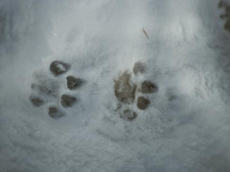 Mountain Lion, Felis Concolor, Tracks in Snow Photographic Print