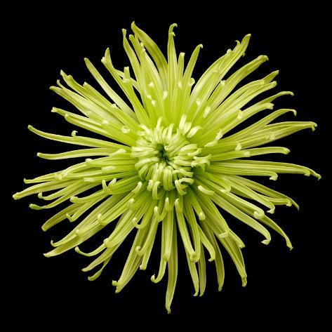 Chrysanthemum II Valokuvavedos