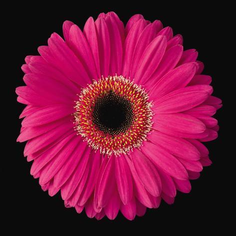 Gerbera Daisy Pink Art Print