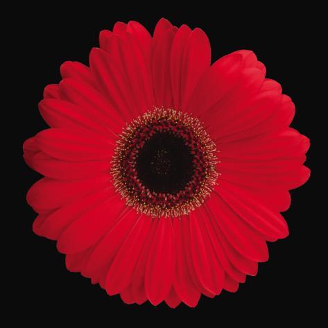 Gerbera Daisy Red Art Print