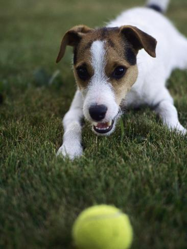 Jack Russell Terrier Playing with Ball in Backyard Photographic Print