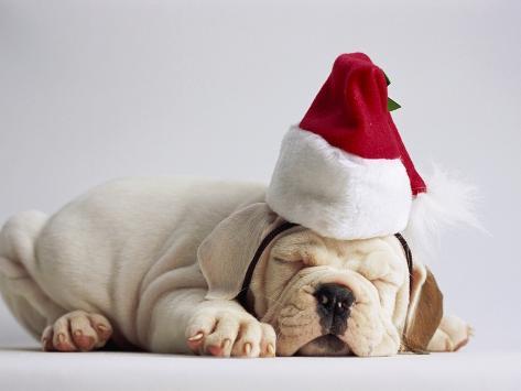 Bulldog Puppy Wearing Santa Hat Photographic Print