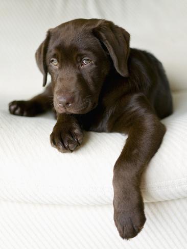 Chocolate Lab Puppy Photographic Print