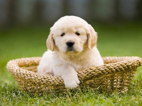 Golden Retriever Puppy in Pet Bed Photographic Print