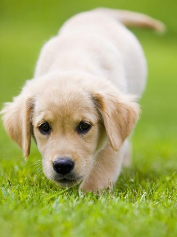 Golden Retriever Puppy Playing Outdoors Photographic Print