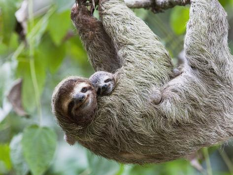 brown throated sloth and her baby hanging from a tree branch in