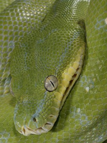 Green Tree Python, , Chondropython Viridis, Adult Specimen, Australia, New Guinea Photographic Print