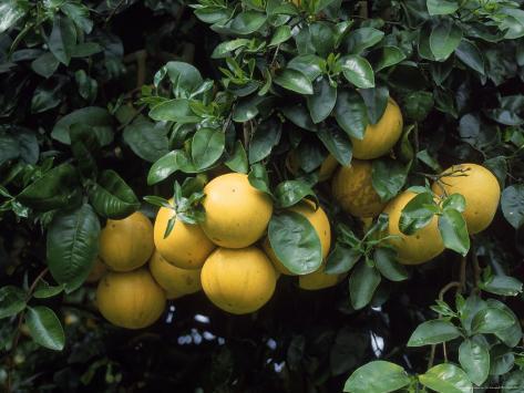 Grapefruit Trees, Brandenton Fotoprint