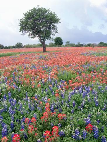 Field of Red and Blue Flowers Photographic Print