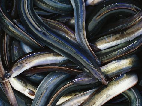 Eels Photographic Print