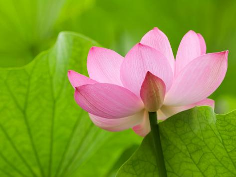 Perry's Water Garden, Lotus Bloom and Leaves, Franklin, North Carolina, USA Photographic Print