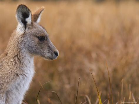 Eastern Grey Kangaroo, Kosciuszko National Park, New South Wales, Australia Photographic Print