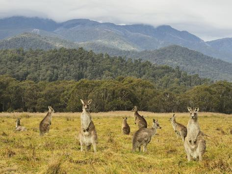 Eastern Grey Kangaroos, Geehi, Kosciuszko National Park, New South Wales, Australia, Pacific Photographic Print