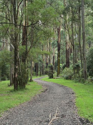 Mountain Ash Forest, Dandenong Ranges National Park, Dandenong Ranges, Victoria, Australia, Pacific Photographic Print