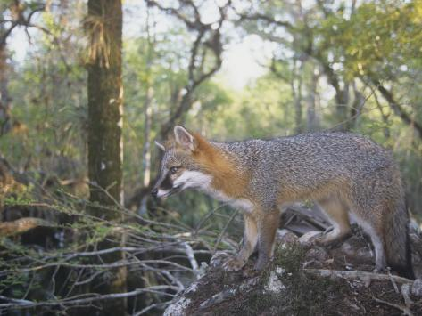 A Gray Fox, Urocyon Cinereoargenteus, Southern USA Photographic Print